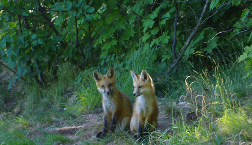two baby male foxes